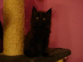 Foto 6 maine coon XXL kitten (ohne papiere)