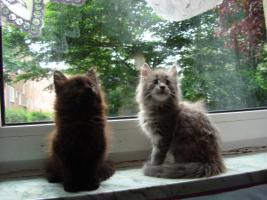 Foto 7 maine coon XXL kitten (ohne papiere)
