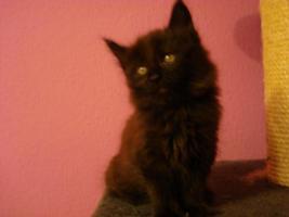 Foto 8 maine coon XXL kitten (ohne papiere)