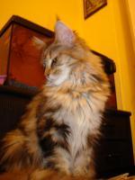 Foto 10 maine coon XXL kitten (ohne papiere)