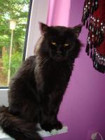 Foto 11 maine coon XXL kitten (ohne papiere)