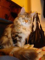 Foto 12 maine coon XXL kitten (ohne papiere)