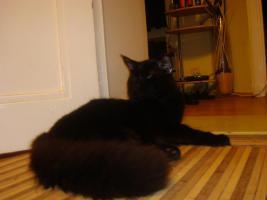 Foto 13 maine coon XXL kitten (ohne papiere)