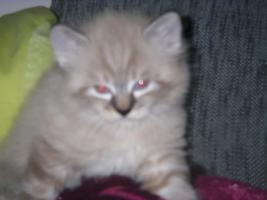 maine coon kater...kitten
