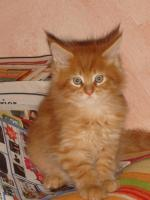 maine coon katerchen red smoke tabby