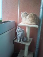 maine coon kitten 09.06.12 geboren dürfen umziehen