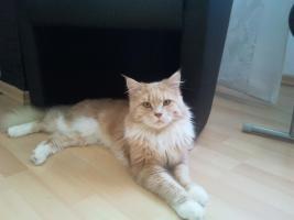 Foto 2 maine coon kitten 09.06.12 geboren dürfen umziehen