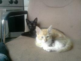 Foto 5 maione coon edel mix