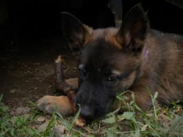 Foto 2 malinois welpen belgische schäferhunde