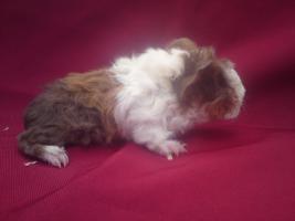Foto 2 meerschwein