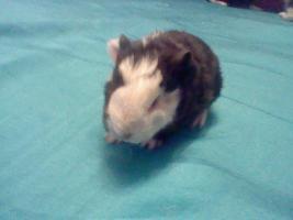 Foto 3 meerschweinchen