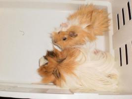 meerschweinchen papa und sohn  tauschen gegen mäusekäfig