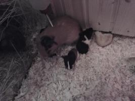 meerschweinchenbabys