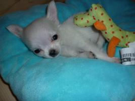 mini LH Chihuahua Rude