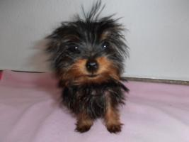 Foto 3 mini yorki welpe weibchen