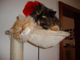 muss leider meine 2 lieben perser katzen abgeben