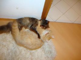Foto 3 muss leider meine 2 lieben perser katzen abgeben