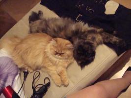 Foto 4 muss leider meine 2 lieben perser katzen abgeben