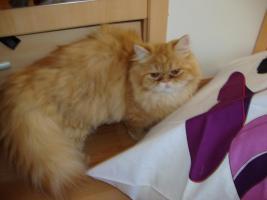 Foto 6 muss leider meine 2 lieben perser katzen abgeben