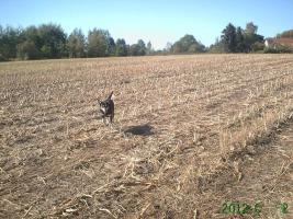 Foto 3 neuer Familienanschluss für 2-jährige Labrador-Mix-Hündin gesucht