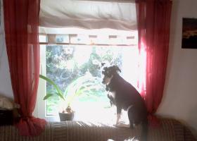 Foto 6 neuer Familienanschluss für 2-jährige Labrador-Mix-Hündin gesucht