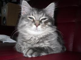 Foto 2 neva masquarade.sibirische kitten  sieben stück in allen farben