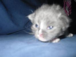 Foto 5 neva masquarade.sibirische kitten  sieben stück in allen farben