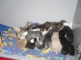 Foto 6 neva masquarade.sibirische kitten  sieben stück in allen farben