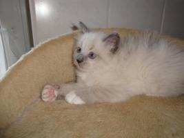 Foto 2 neva  masquarade Kitten