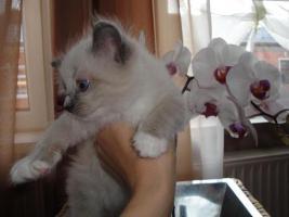 Foto 3 neva  masquarade Kitten