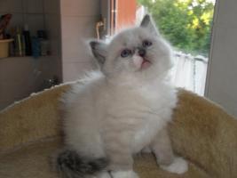 Foto 4 neva  masquarade Kitten