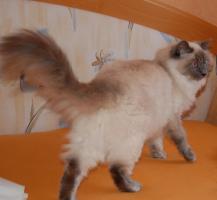 Foto 7 neva  masquarade Kitten