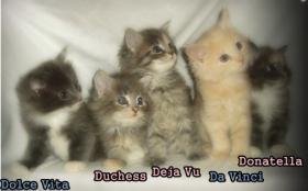 niedliche typvolle reinrassige Maine Coon Kitten