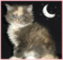 Foto 3 niedliche typvolle reinrassige Maine Coon Kitten