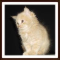 Foto 4 niedliche typvolle reinrassige Maine Coon Kitten
