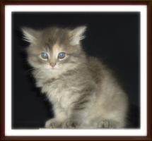 Foto 7 niedliche typvolle reinrassige Maine Coon Kitten