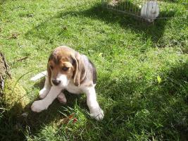 noch 1 Beagle Rüde