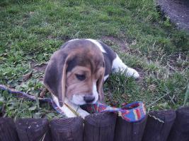 Foto 2 noch 1 Beagle Rüde