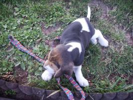 Foto 3 noch 1 Beagle Rüde