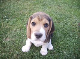 Foto 4 noch 1 Beagle Rüde