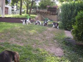 Foto 5 noch 1 Beagle Rüde