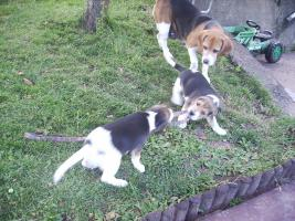 Foto 6 noch 1 Beagle Rüde