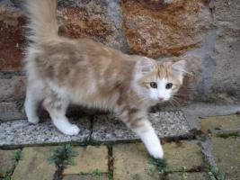 Foto 2 norwegische waldkatzen suchen ab sofort ein zu Hause