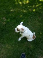 Foto 2 old english bulldog welpe
