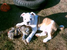 olde engl. Bulldog Welpe (Hündin)