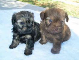 Foto 2 olonka Zwetna Welpen, Kleinhunde, Familienhunde