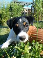 Foto 2 parson jack russel terrier