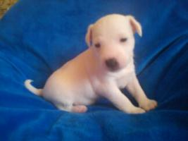 parson jack russel terrier