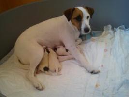 Foto 4 parson jack russel terrier