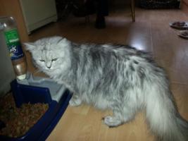 Foto 4 perser kitten